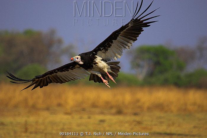 White headed vulture flying (Trigonoceps occipitalis)  -  T.J. Rich/ npl