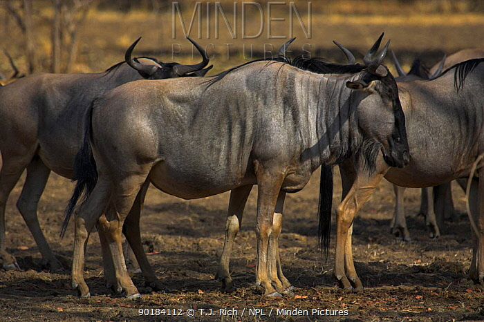 Cookson's Wildebeest (Connochaetes taurinus cooksonii) South Luangwa NP, Zambia  -  T.J. Rich/ npl