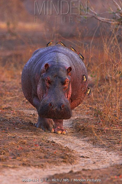 Hippopotamus walking along track at dawn  -  T.J. Rich/ npl
