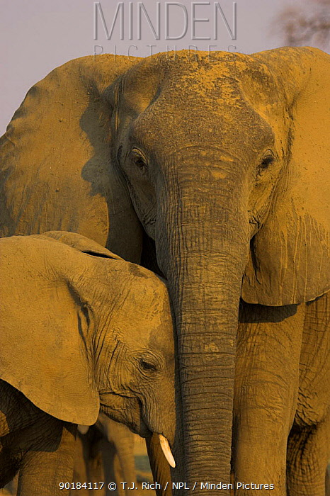 African Elephant mother and young (Loxodonta africana) South Luangwa NP, Zambia  -  T.J. Rich/ npl