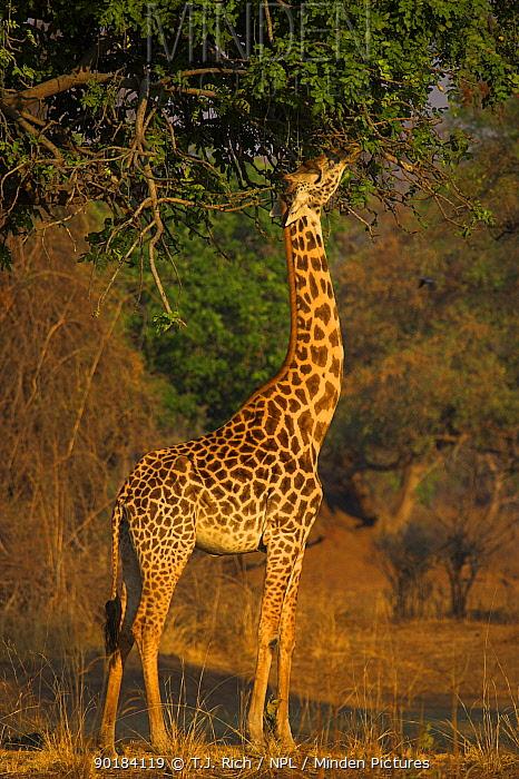 Thornicroft's giraffe browsing (Giraffa camelopardalis thornicrofti) South Luangwa NP, Zambia  -  T.J. Rich/ npl