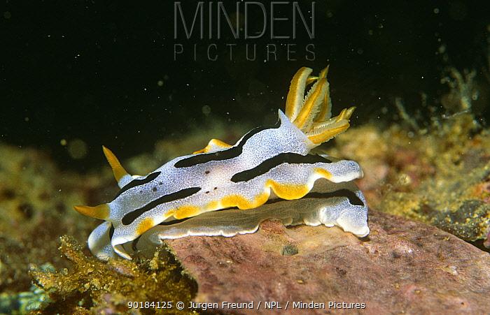 Nudibranch (Chromodrois lochi) Philippines  -  Jurgen Freund/ npl