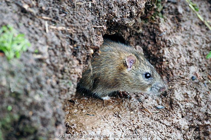 Brown rat (Rattus norvegicus) looking out of burrow, UK  -  Mike Wilkes/ npl