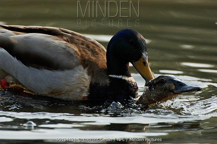 Mallards mating (Anas platyrhynchos) UK  -  Laurent Geslin/ npl