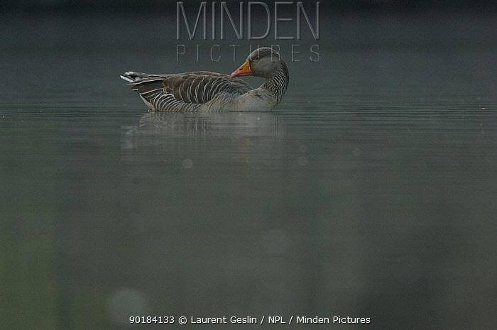 Greylag goose (Anser anser) on water, UK  -  Laurent Geslin/ npl