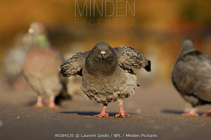 Feral pigeon, Rock dove (Columba livia) displaying, London UK  -  Laurent Geslin/ npl