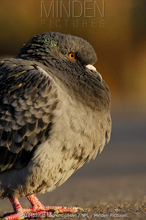 Feral pigeon, Rock dove (Columba livia) London UK  -  Laurent Geslin/ npl