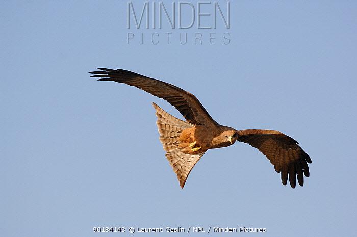 Yellow billed kite (Milvus migrans aegypticus) flying, North Africa  -  Laurent Geslin/ npl