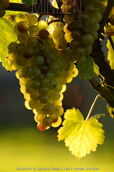 Bunch of cultivated white Grapes (Vitis vinifera) Switzerland Not for sale to magazines  -  Laurent Geslin/ npl