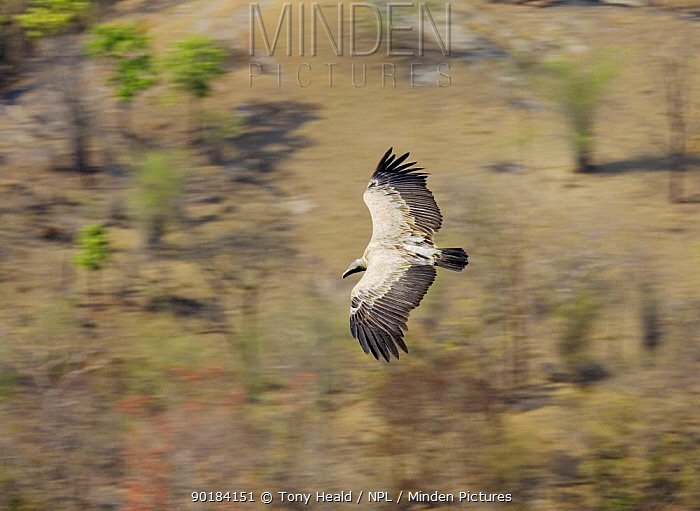 Long billed vulture (Gyps indicus) in flight, viewed from above, Bandhavgarh National Park, India  -  Tony Heald/ npl