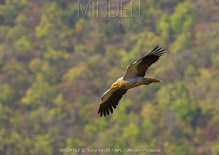 Egyptian vulture (Neophron pernopterus) in flight, Bandhavgarh National Park, India 2007  -  Tony Heald/ npl