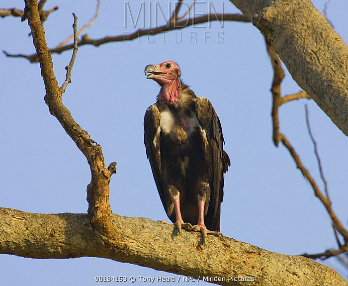 Red-headed vulture (Sarcogyps calvus) perching in tree, Bandhavgarh National Park, India  -  Tony Heald/ npl