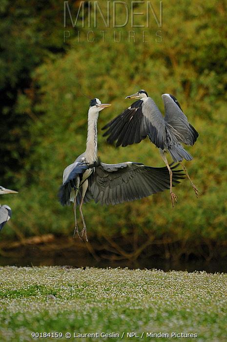 Grey herons (Ardea cinerea) fighting over a fish that one has caught, UK  -  Laurent Geslin/ npl