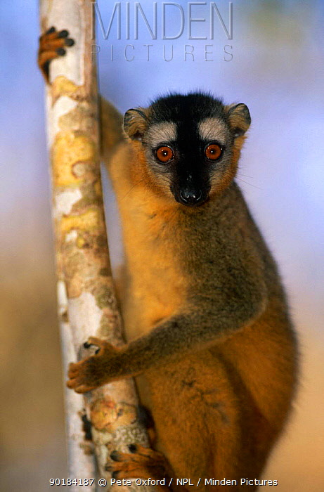Red fronted lemur (Lemur fulvus rufus) male, Kirindy Forest, Madagascar  -  Pete Oxford/ npl