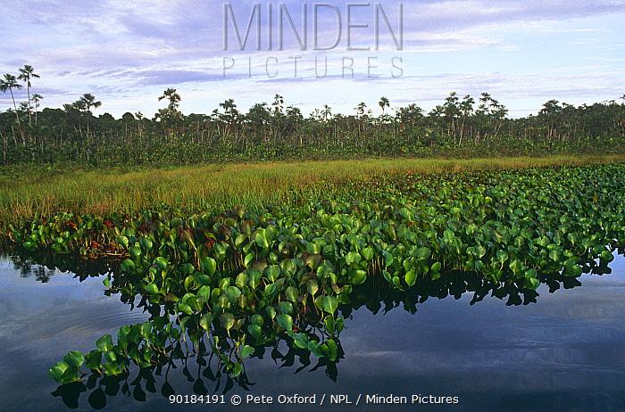 Water hyacinths growing in wetlands (Pontederiaceae) Amazon, Ecuador  -  Pete Oxford/ npl