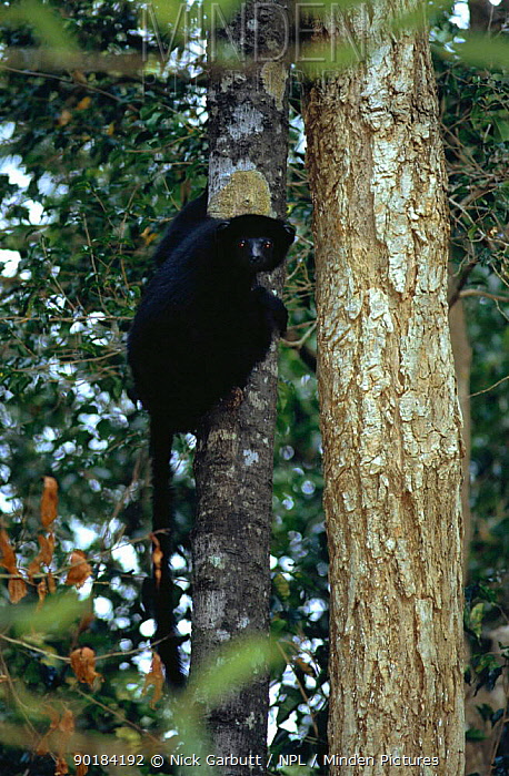 Perrrier's black diademed sifaka Analamera Res Madagascar (Propithecus diadema diadema)  -  Nick Garbutt/ npl