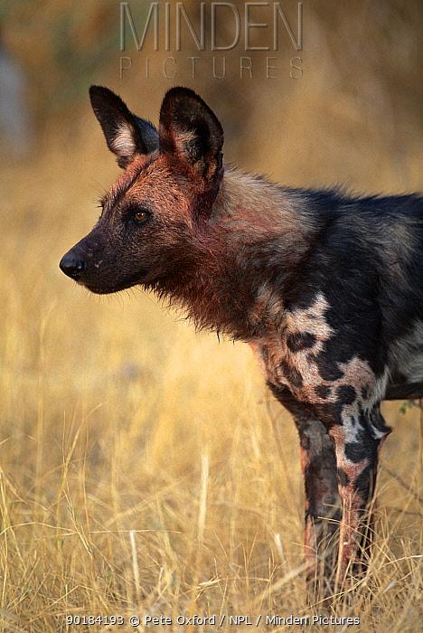 African wild dog portrait (Lycaon pictus) Okavango Delta, Botswana  -  Pete Oxford/ npl
