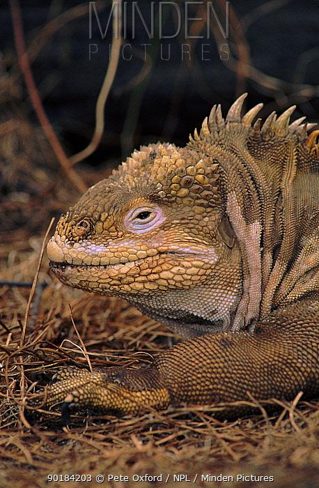 Land iguana head portrait, Isabella Island, Galapagos  -  Pete Oxford/ npl