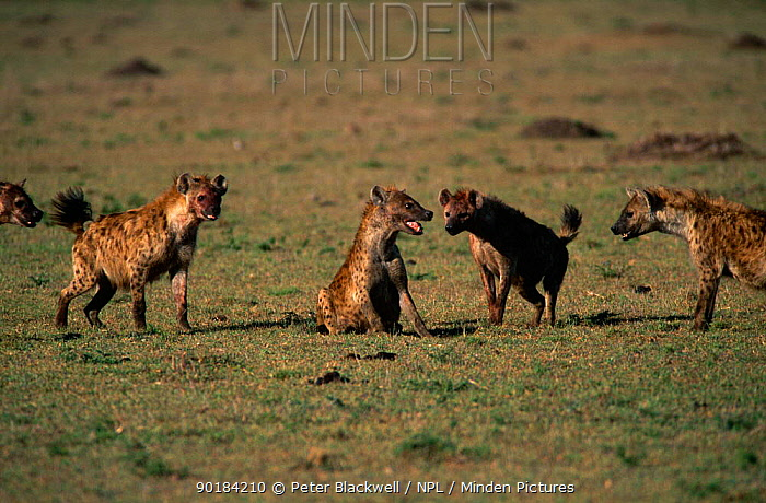 Spotted hyena (Crocuta crocuta) being attacked by others in the group, Masai Mara, Kenya  -  Peter Blackwell/ npl