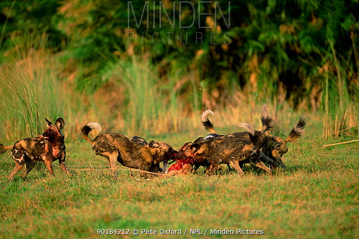 African wild dogs on kill (Lycaon pictus) Okavango, Botswana, Africa  -  Pete Oxford/ npl