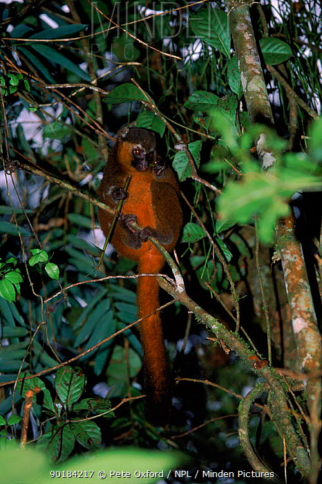Golden bamboo lemur (Hapalemur aureus) eating bamboo, Ranamafana NP, Madagascar  -  Pete Oxford/ npl