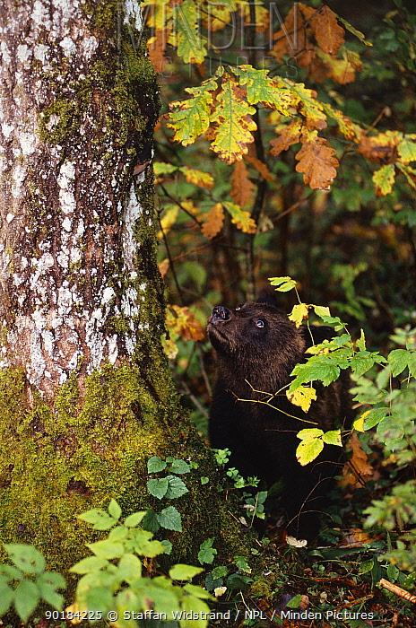 Brown bear cub looking up tree (Ursus arctos), Tverskaya oblast, Russia  -  Staffan Widstrand/ npl