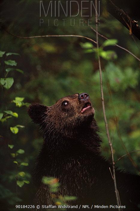 Brown bear cub portrait, female, looking upwards, (Ursus arctos), Tverskaya oblast,  -  Staffan Widstrand/ npl