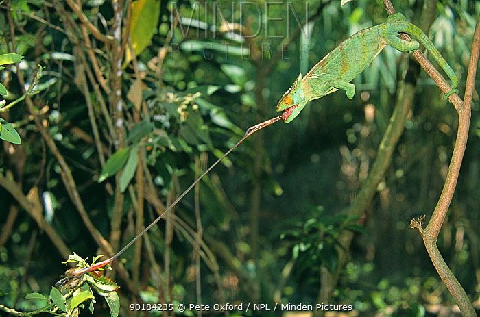 Parson's chameleon (Chamaeleo, Calumma parsonii) catching insect prey with tongue, Madagascar  -  Pete Oxford/ npl