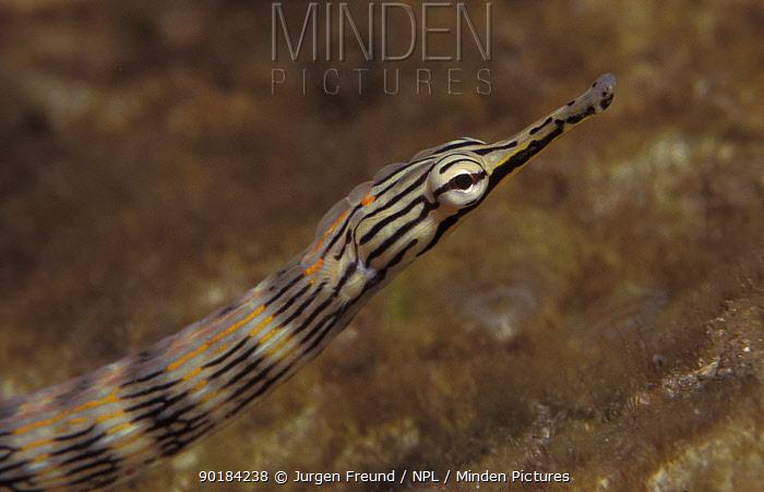 Scribbled pipefish (Corythoichthys intestinalis) Indo Pacific  -  Jurgen Freund/ npl
