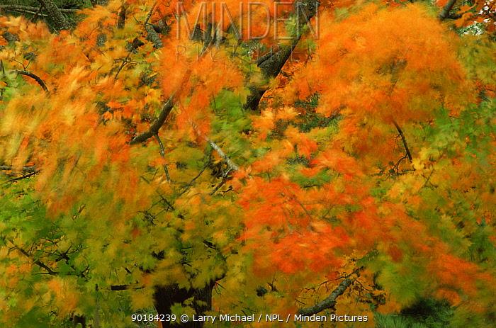Autumn tree abstract, Michigan, USA  -  Larry Michael/ npl
