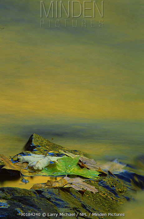 Autumn leaves on water abstract, Michigan, USA  -  Larry Michael/ npl
