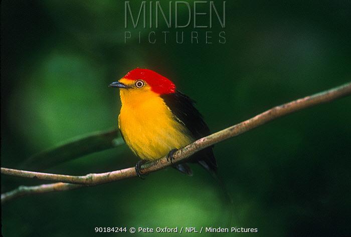 Wire tailed manakin bird, Yasuni NP, Amazonia, Ecuador  -  Pete Oxford/ npl