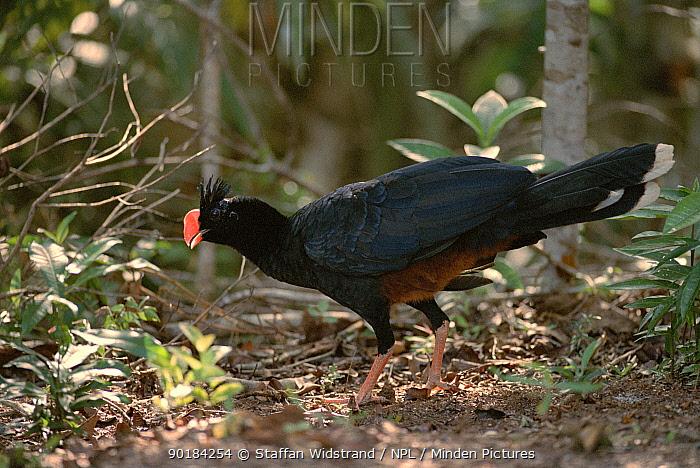 Razor billed curassow (Crax mitu) Manaus, Brazil, South America  -  Staffan Widstrand/ npl