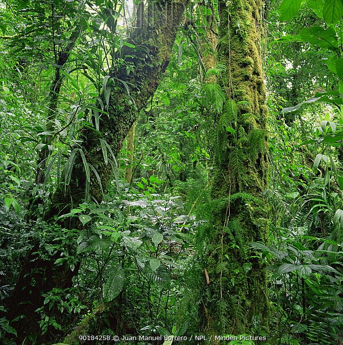 Tropical rainforest interior, Monteverde Natural Reserve, Costa Rica  -  Juan Manuel Borrero/ npl