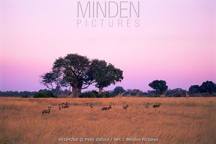 African wild dogs (Lycaon pictus) pack out on hunt in grassland with Giraffe (Giraffa camelopardis) in background, Moremi Wildlife Reserve, Okavango Delta, Botswana, Southern Africa  -  Pete Oxford/ npl
