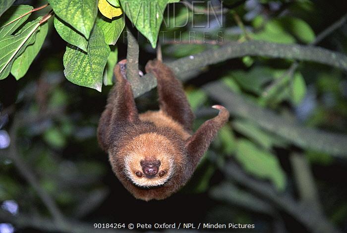 Hoffman's two-toed sloth (Choloepus hoffmanni) Ecuador, S America Captive  -  Pete Oxford/ npl