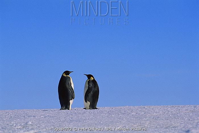 Two Emperor penguins on ice (Aptenodytes forsteri) Flutter EP rookery, Antarctica  -  Pete Oxford/ npl