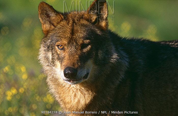 Iberian wolf (Canis lupus signatus) Spain  -  Juan Manuel Borrero/ npl