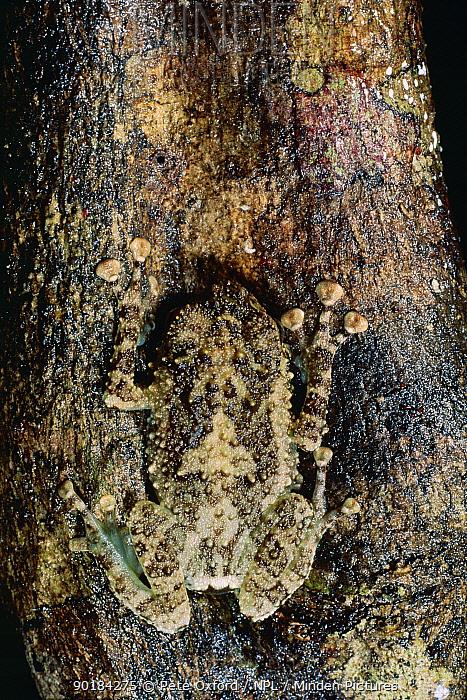 Tree frog camouflaged on bark (Platypelis grandis), Nosy Mangabe, Madagascar  -  Pete Oxford/ npl