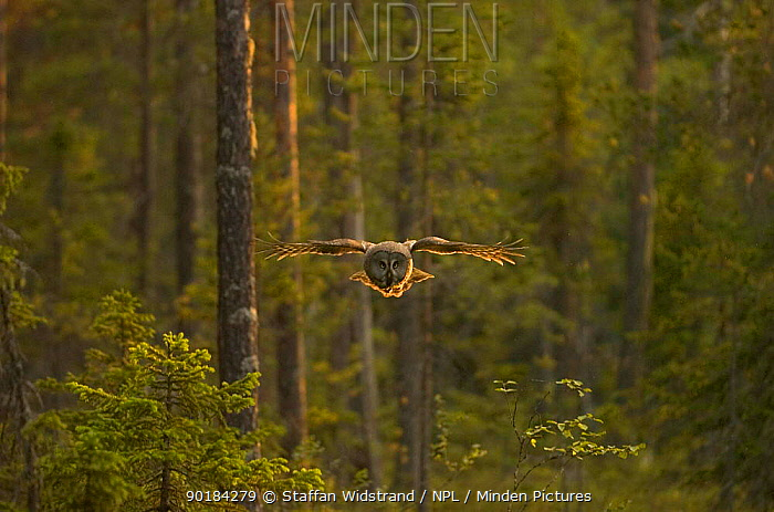 Great grey owl (Strix nebulosa) in flight, Kuhmo, Finland  -  Staffan Widstrand/ npl