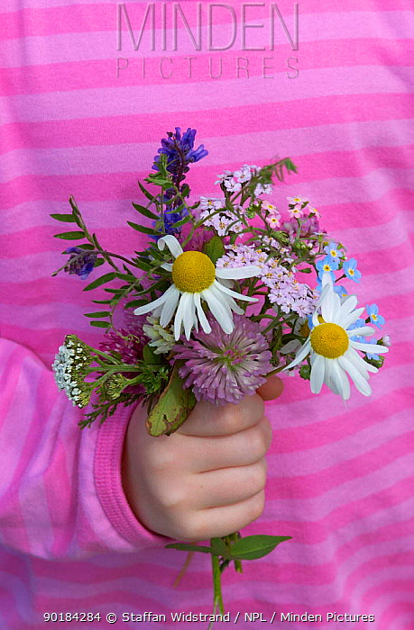 Child holding a bunch of summer wild flowers, Norway  -  Staffan Widstrand/ npl