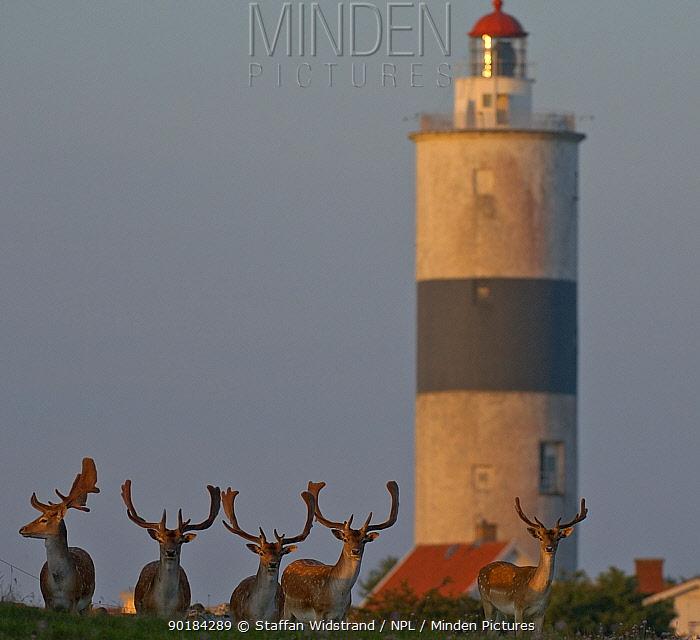 Lighthouse and deer at Alvaret World Heritage Area, Ottenby, Oland, Sweden  -  Staffan Widstrand/ npl