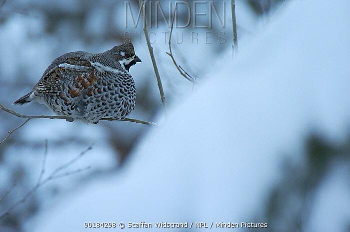 Female Hazel grouse (Bonasia bonasia) Sarek NP Lapland, Sweden  -  Staffan Widstrand/ npl