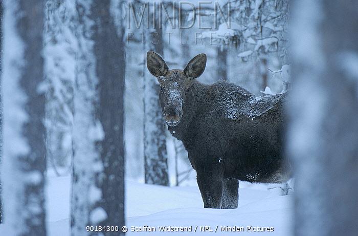 Moose in snow (Alces alces) Sarek NP Lapland, Sweden  -  Staffan Widstrand/ npl