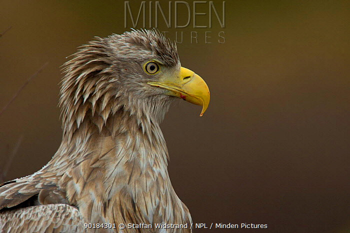European, White tailed Sea Eagle (Haliaetus albicilla) Flatanger, Norway  -  Staffan Widstrand/ npl