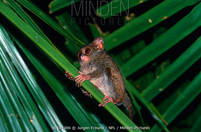 Spectral tarsier (Tarsius spectrum) smallest primate, South America  -  Jurgen Freund/ npl