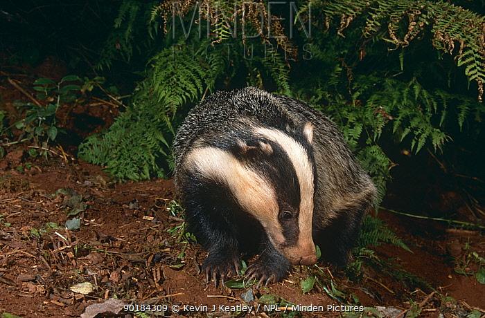 Badger (Meles meles) in woodland, Devon, UK  -  Kevin J Keatley/ npl
