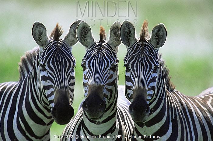 Three Common zebras (Equus burchelli) Kenya  -  Hermann Brehm/ npl