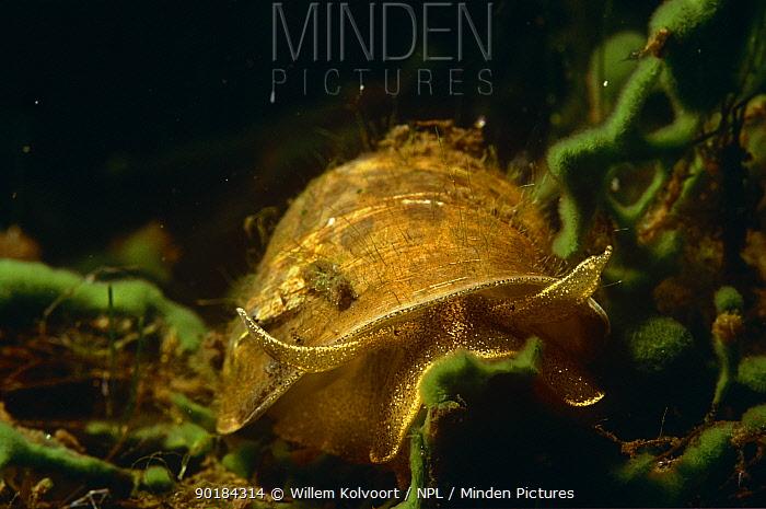 Ear Snail ( Lymnaea auricularia ) feeding on algae, Lake Naarden, Holland  -  Willem Kolvoort/ npl