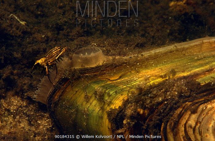 Swan Mussel (Anodonta cygnaea) with semi-aquatic Weevil Lake Naarden, Holland Mussel is filtering water to feed on plankton  -  Willem Kolvoort/ npl